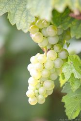 white_grapes_growing_on_vines_img_7404